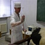 Диагностика беременности у коровы